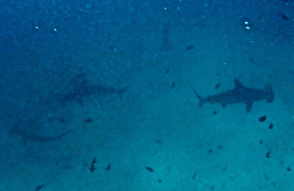Gordon Rock, Hammerhead Sharks, Galapagos Inseln, Ecuador, Travel Drift