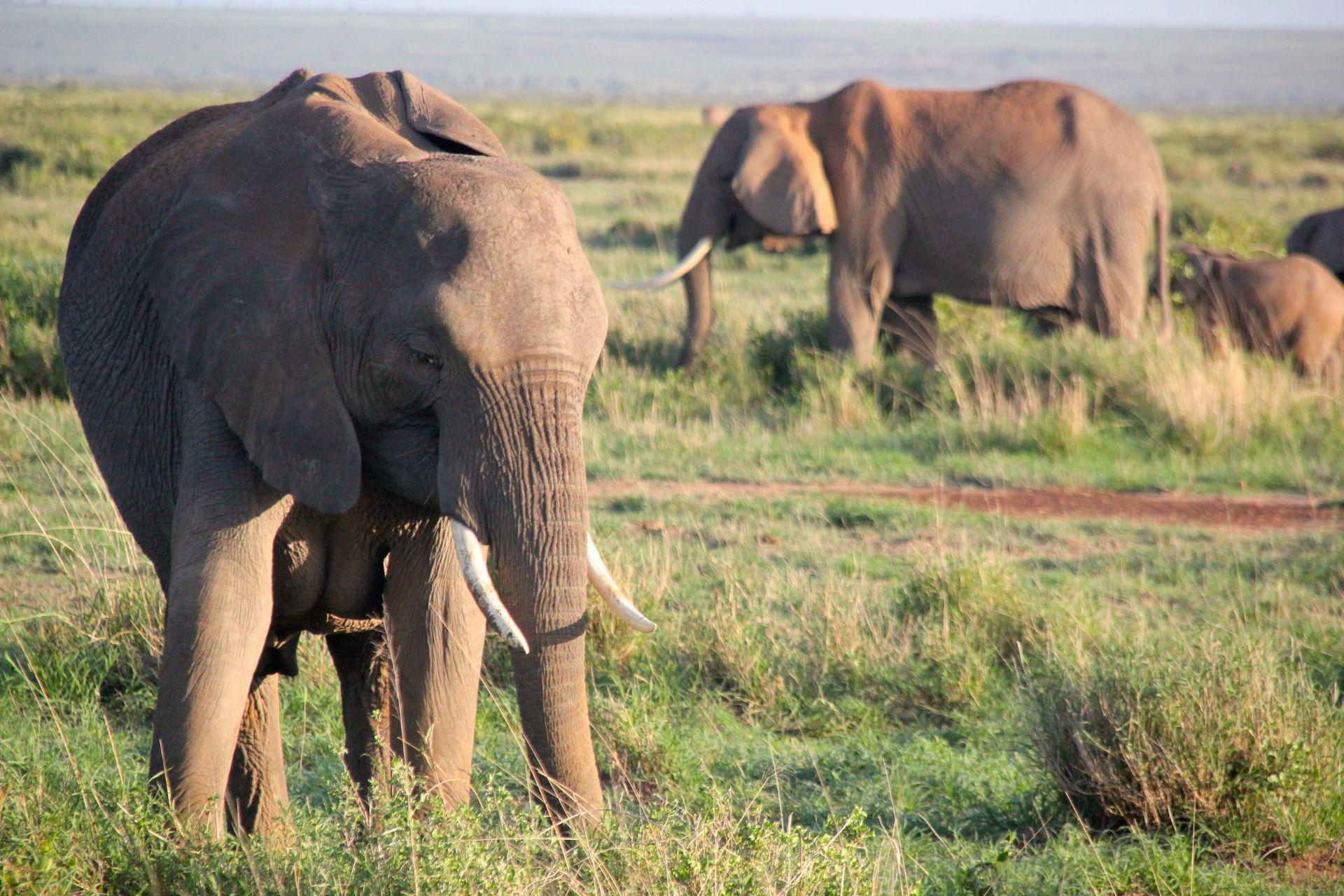 Amboseli Nationalpark, Kenia, Africa, Travel Drift