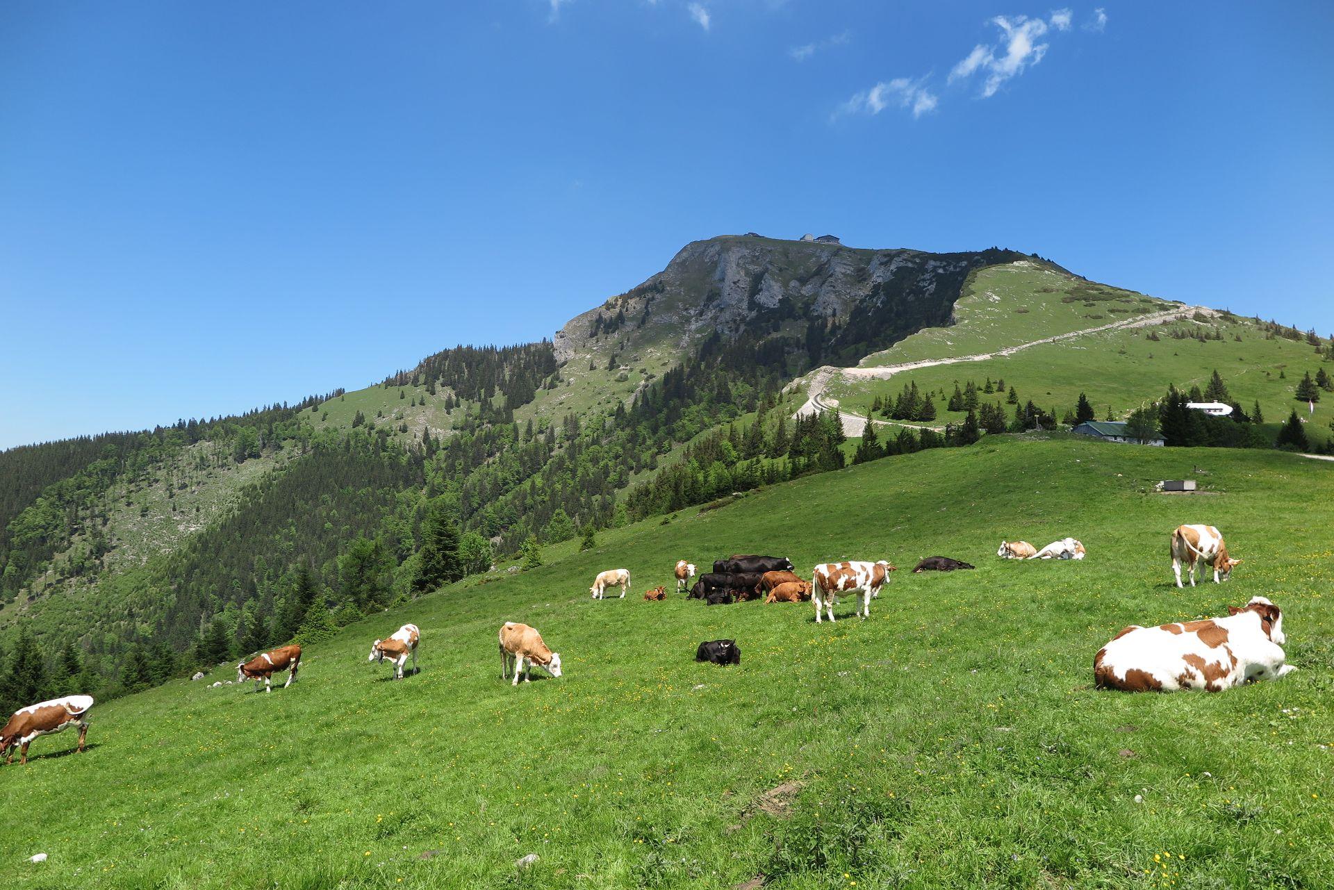 Schafberg, Oberösterreich, Kühe, Travel Drift