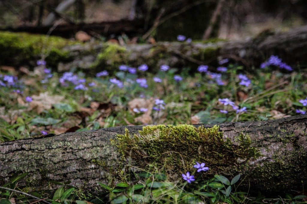 Leberblümchen, Attersee